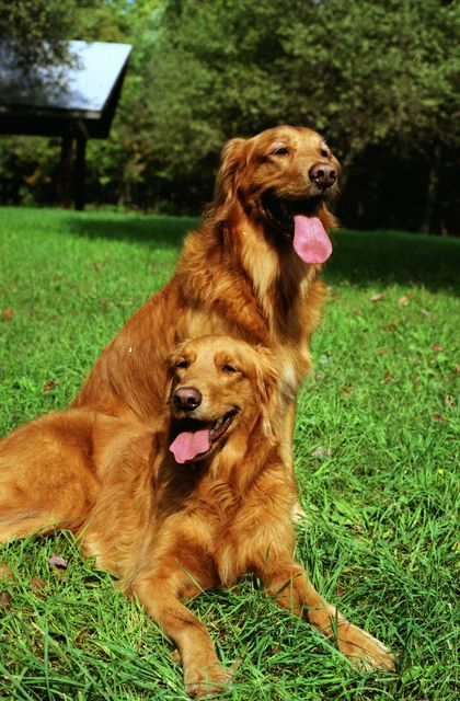red-nice-goldens