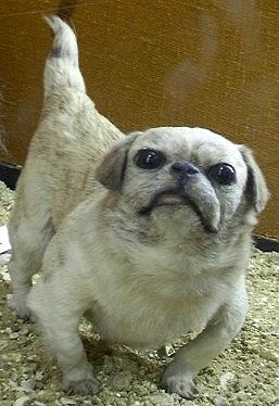 A taxidermied Happa dog.