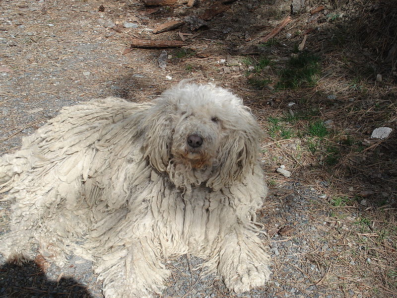 """The mondern Komondor from Hungary is quite similar to the description of one version of the supposed """"Russian retriever."""""""