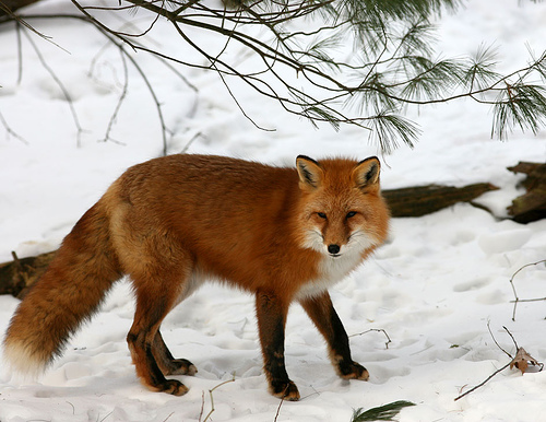 red-fox-comparison