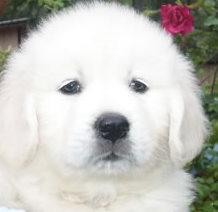 cute-white-retriver1