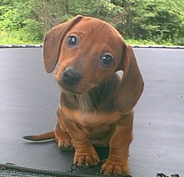 My grandmother's red miniature dachshund was a biter.