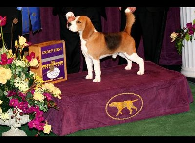 """CH K-Run's Park Me In First (""""Uno"""") won last year's Westminster Kennel Club Dog Show."""