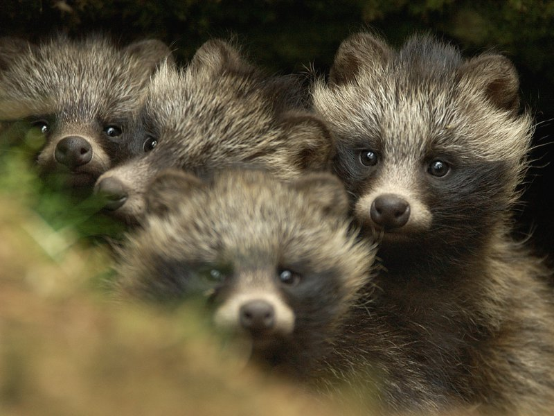 raccoon-dogs1