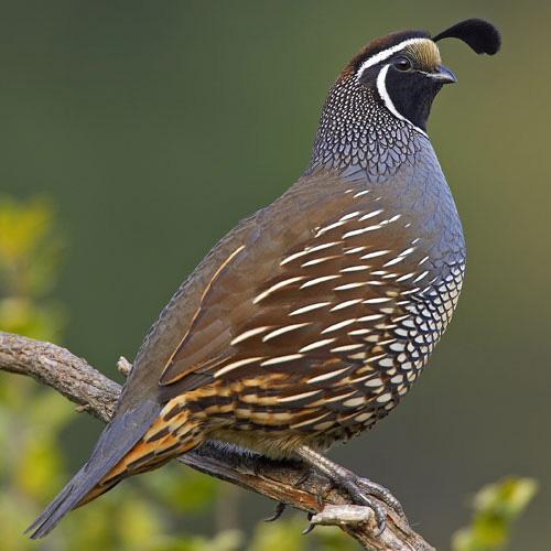 """California or Valley Quail, the birds that say """"Chicago."""""""