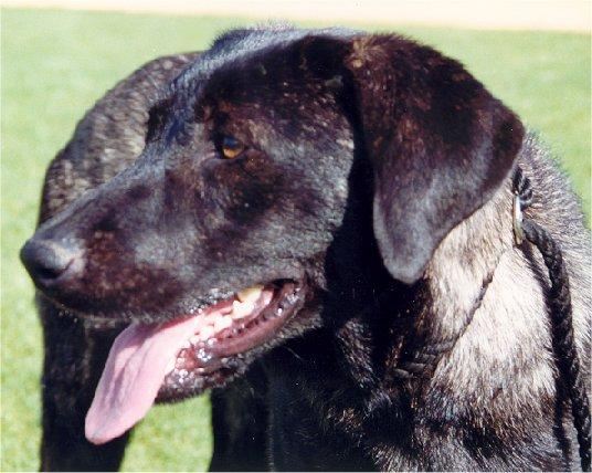 The Cão de Castro Laboreiro's similarities with the Labrador retriever are not mere coincidences.