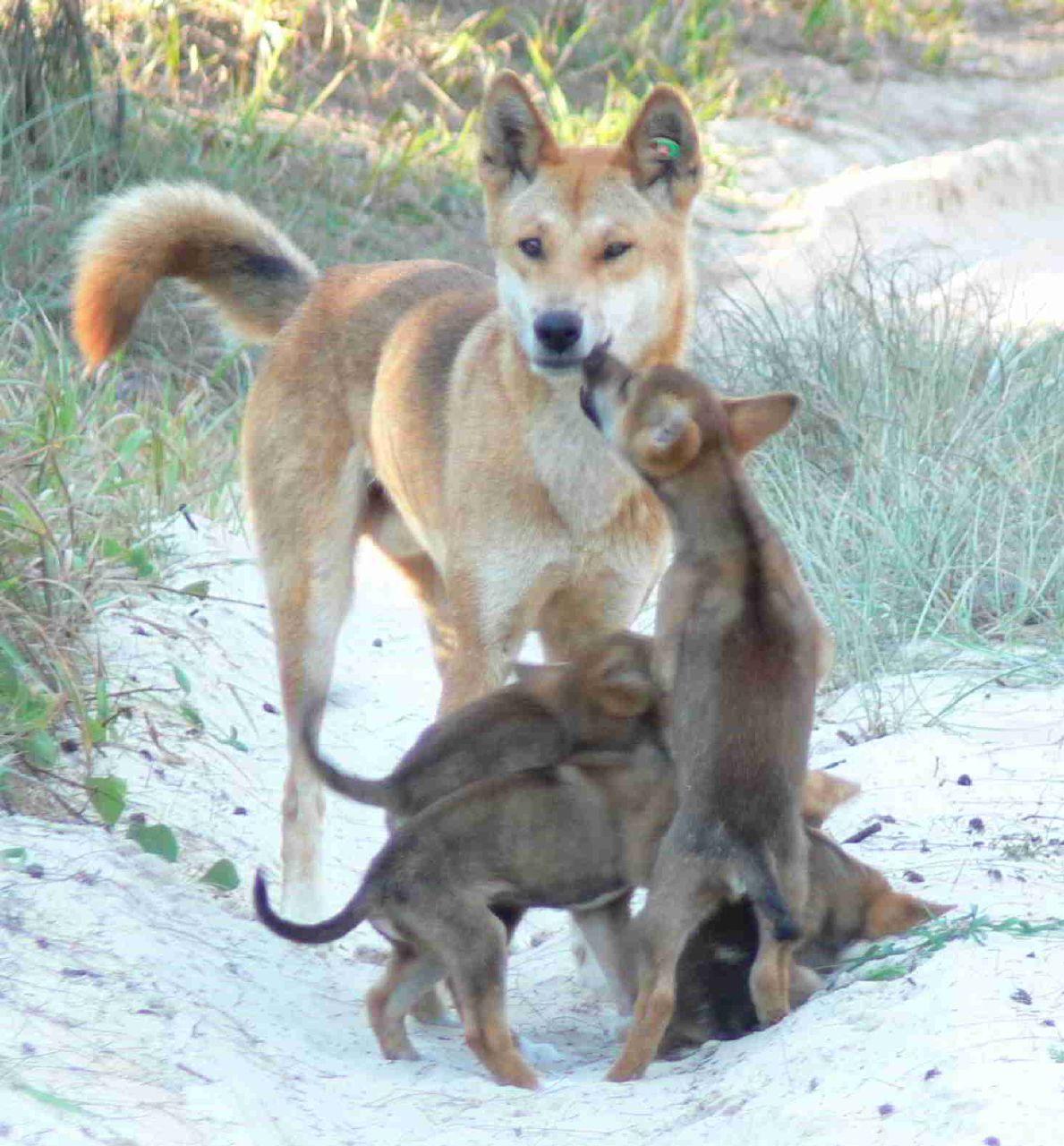 dingo wolf dad