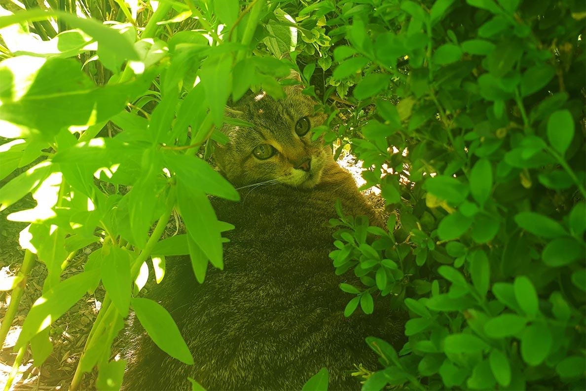 RetroCats Katze im Gebüsch