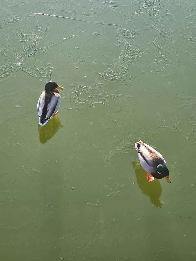 RetroCats Wochenrückblick: Enten auf dem gefrorenen Teich im Park