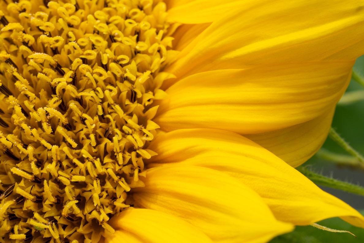 Die Blüte einer Sonnenblume als Makro-Aufnahme
