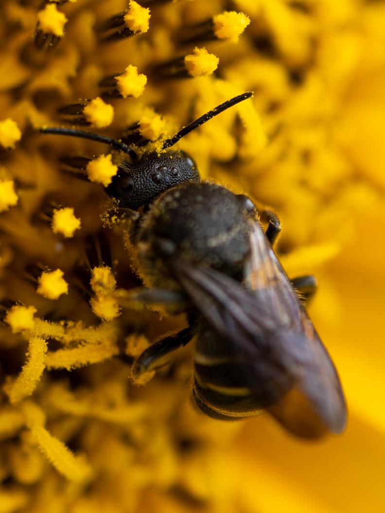 Eine Biene in der Makro-Aufnahme