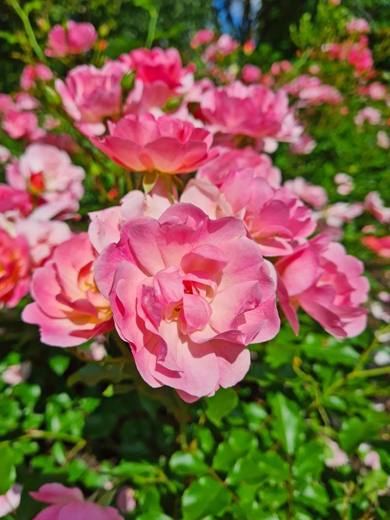 Blühende Rosen in einem Münchner Park