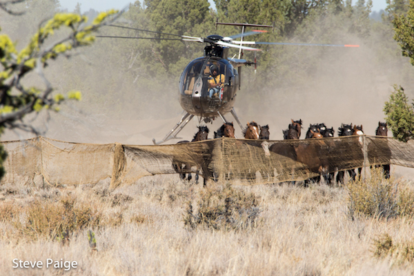 forest service plan places california wild horses at risk of