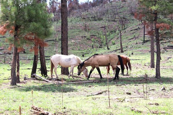 FS_Pic_apache_sitgreaves_wild_horses_t715