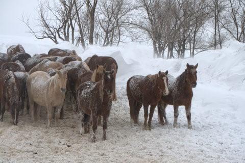 South Dakota Wild Horse Emergency