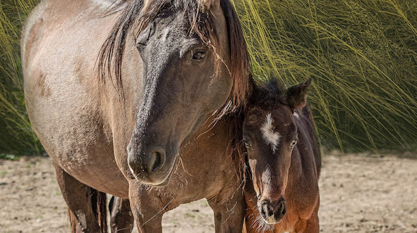 Spanish grulla mare and foal