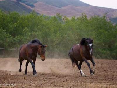 Calico Herd