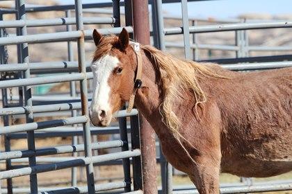 collared-wild-horses