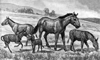 Horse Evolution