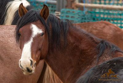 Frisco Wild Horse Roundup