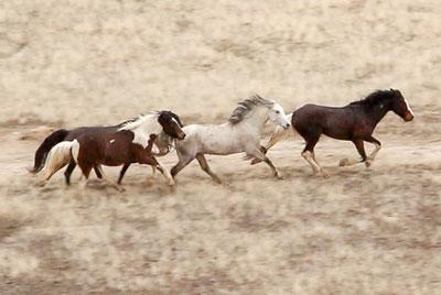 Cedar Mountain Wild Horse Roundup