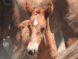 Sheldon Wild Horse Roundup