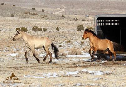 Sulphur Springs Wild Horse Release