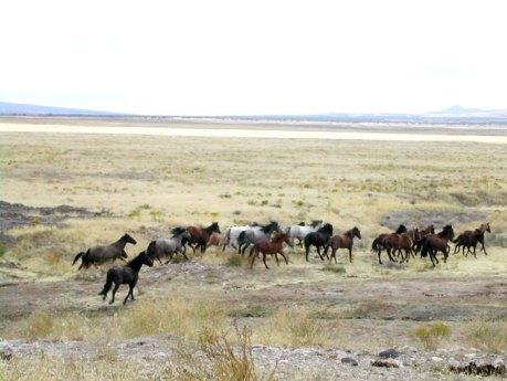 American Wild Mustangs