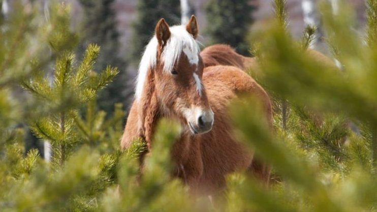 wild-horses-alberta