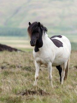 Wild Icelandic Pony
