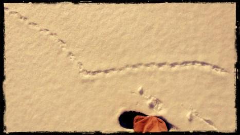 Vole Tracks