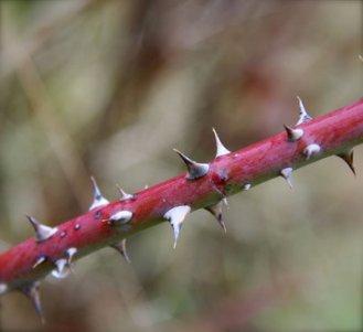 rose stem with thorns.JPG
