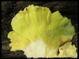chicken-of-the-woods-border-underside