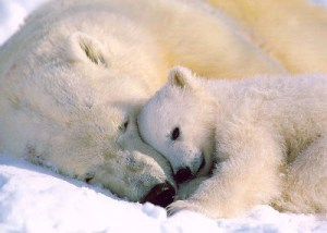 PolarBears-Sleeping