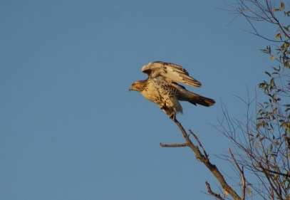 redtailed hawk taking off