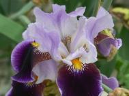 purple iris blooming