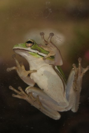tree frog hanging out on a window-no flash