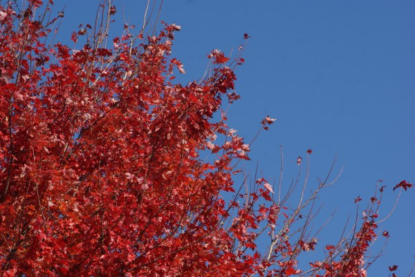 brilliant red leaves against the blue sky