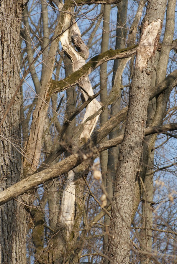 intertwined branches