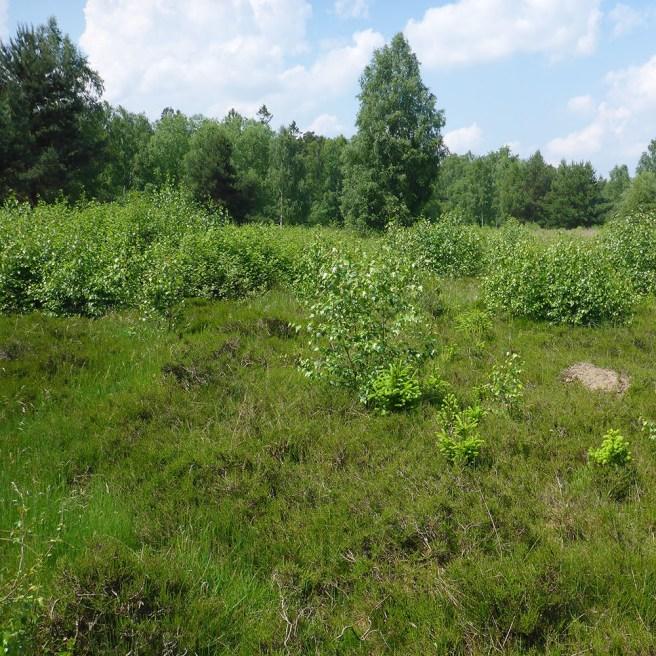 Revitalisierung: Zwergstrauchheiden Pöllwitzer Wald