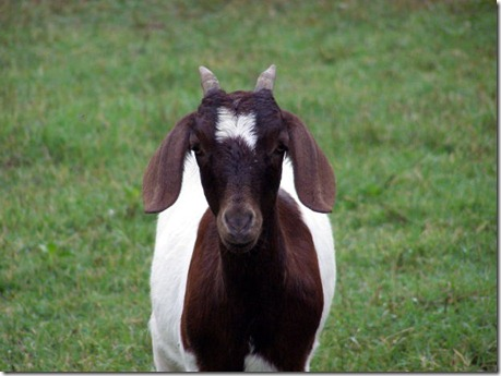 Goat Milk is great for your skin