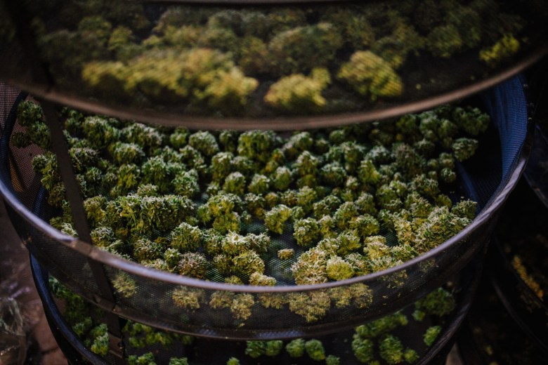Trimmed marijuana buds dry at a farm. Trimmers serve at the mercy of their bosses, who are themselves vulnerable to the risks of operating in the black market. When conflicts arise, trimmigrants may find themselves fired without pay.