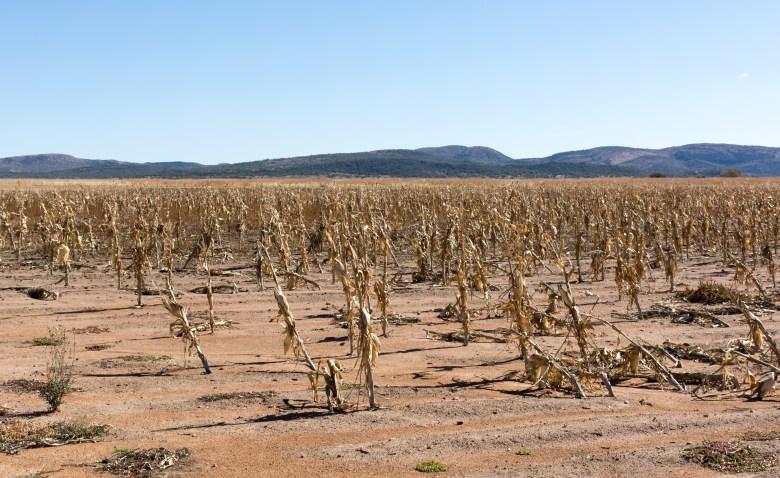 Dry corn field
