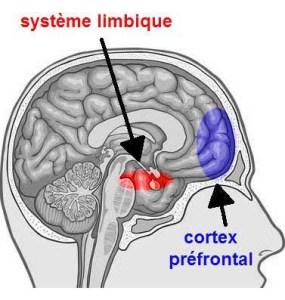 Système Limbique et prefrontal