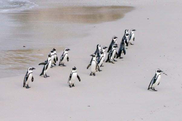 Pingouins pour leadership