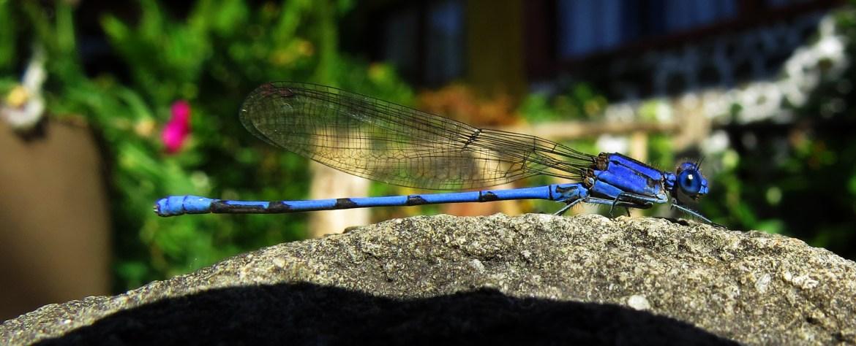 Libelle: blaue Libelle in einem Garten am Ufer des Lago de Atitlán (Santa Cruz la Laguna)