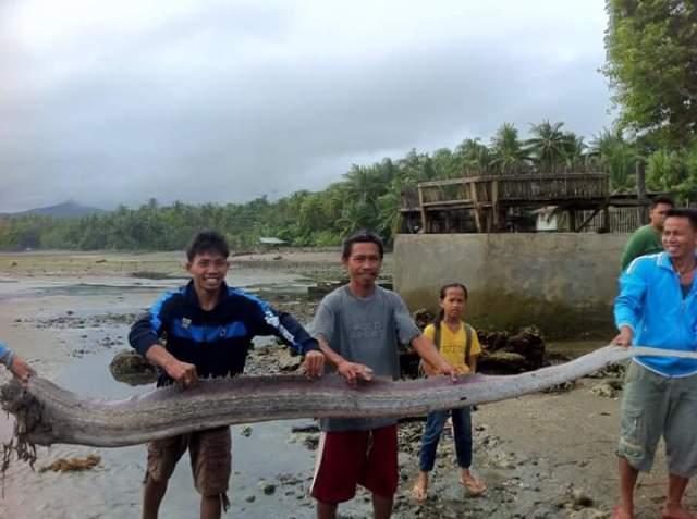 Philippine Oar fish