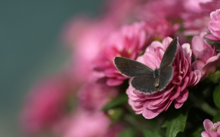 Beautiful Spring Flower And Butterfly Wallpaper By