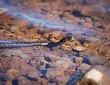A garter snake