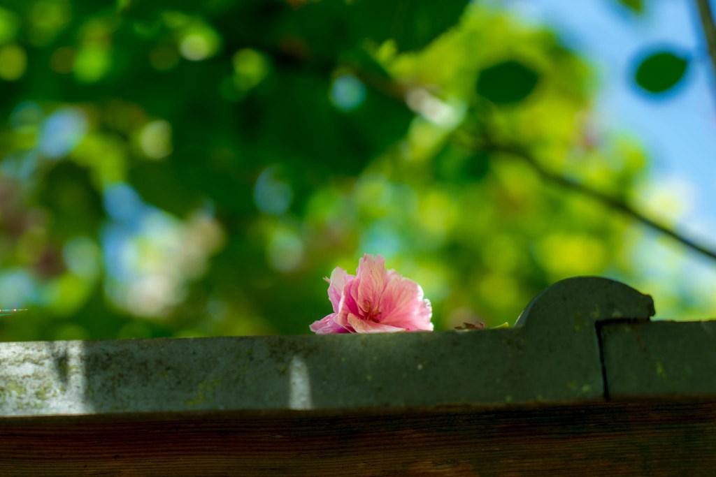 浄智寺付近の落花